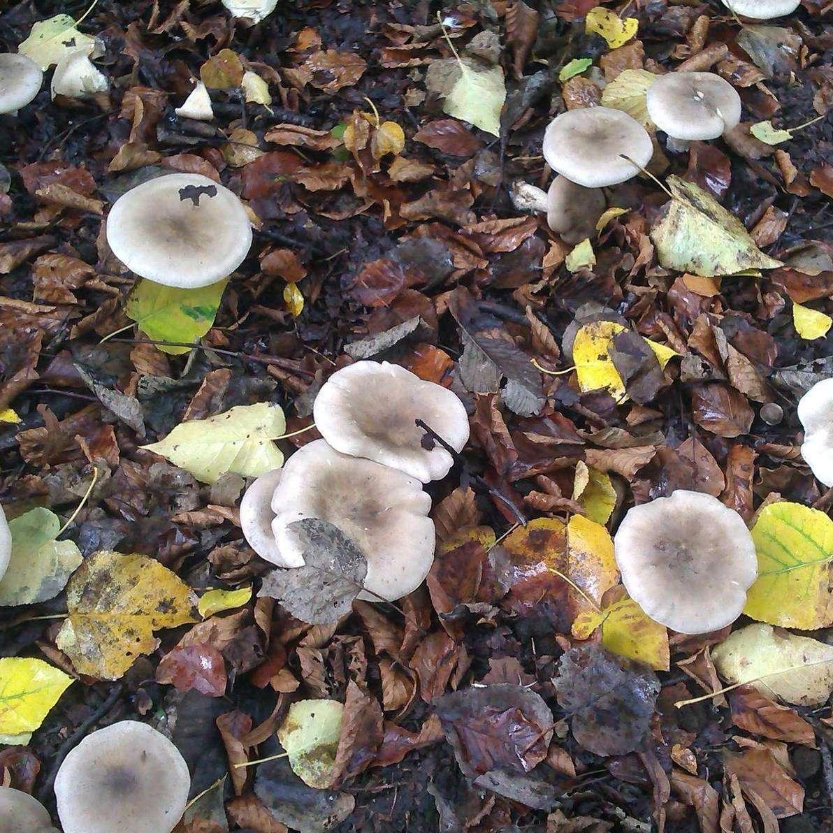 magic mushroom identification for - photo #30
