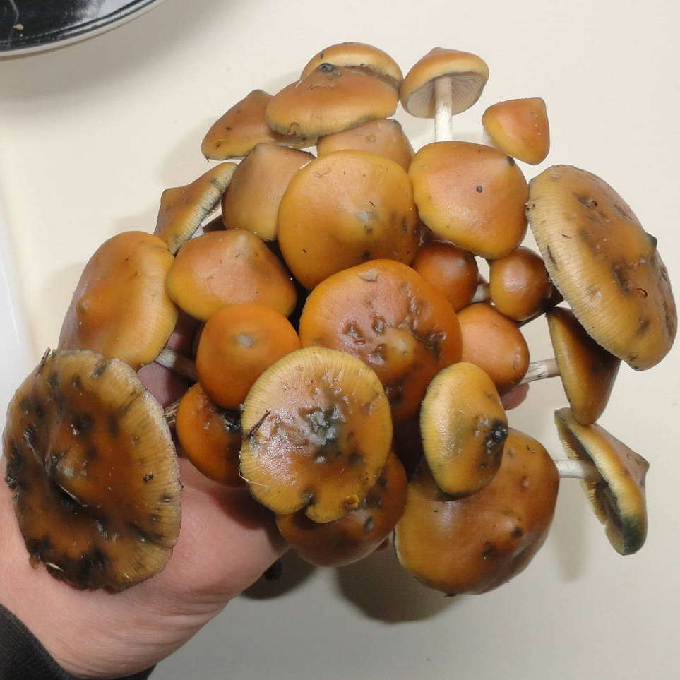 Psilocybe Azurescens Indoor Cultivation