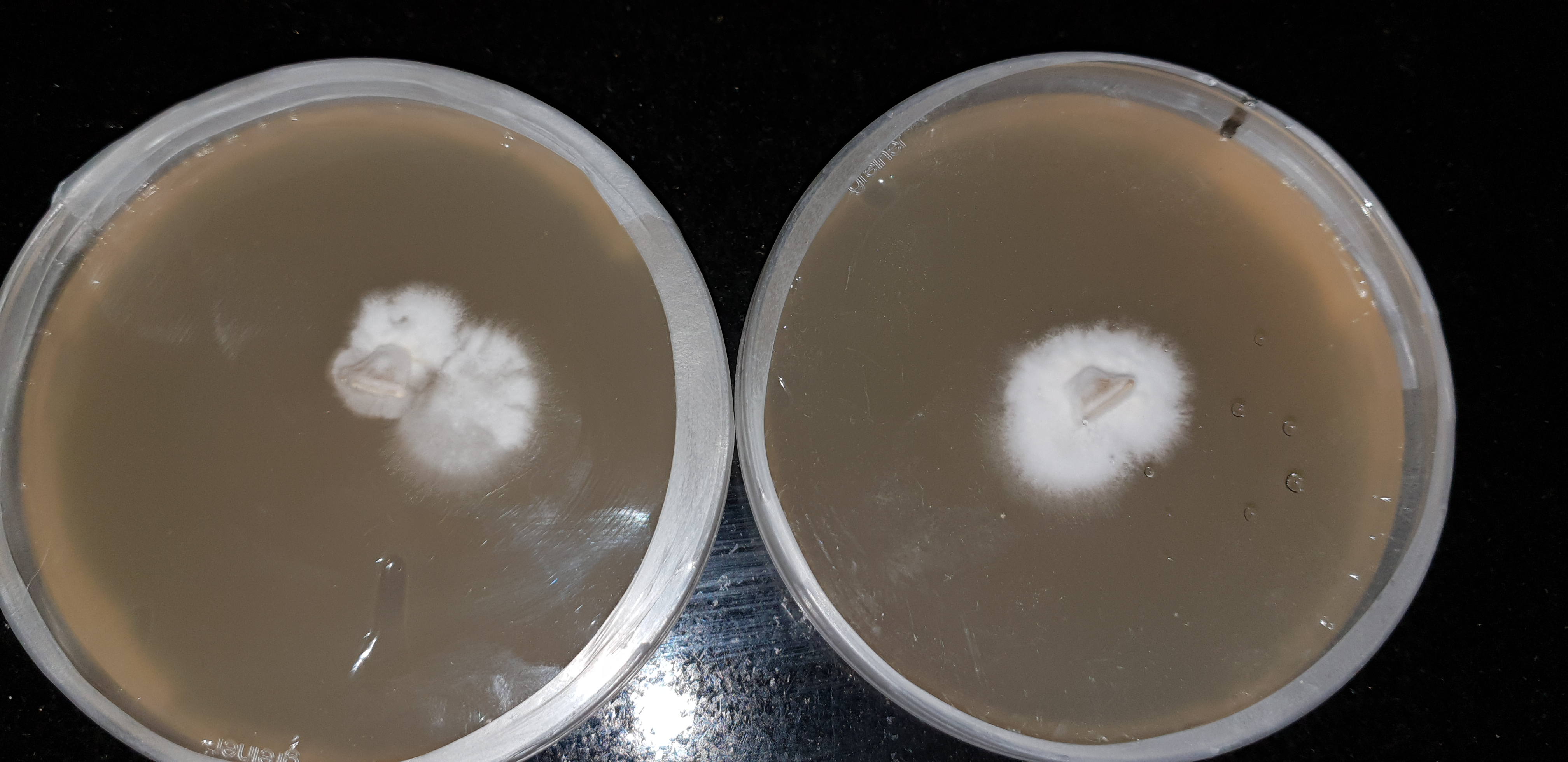 Ovoid Spore to Agar first transfer