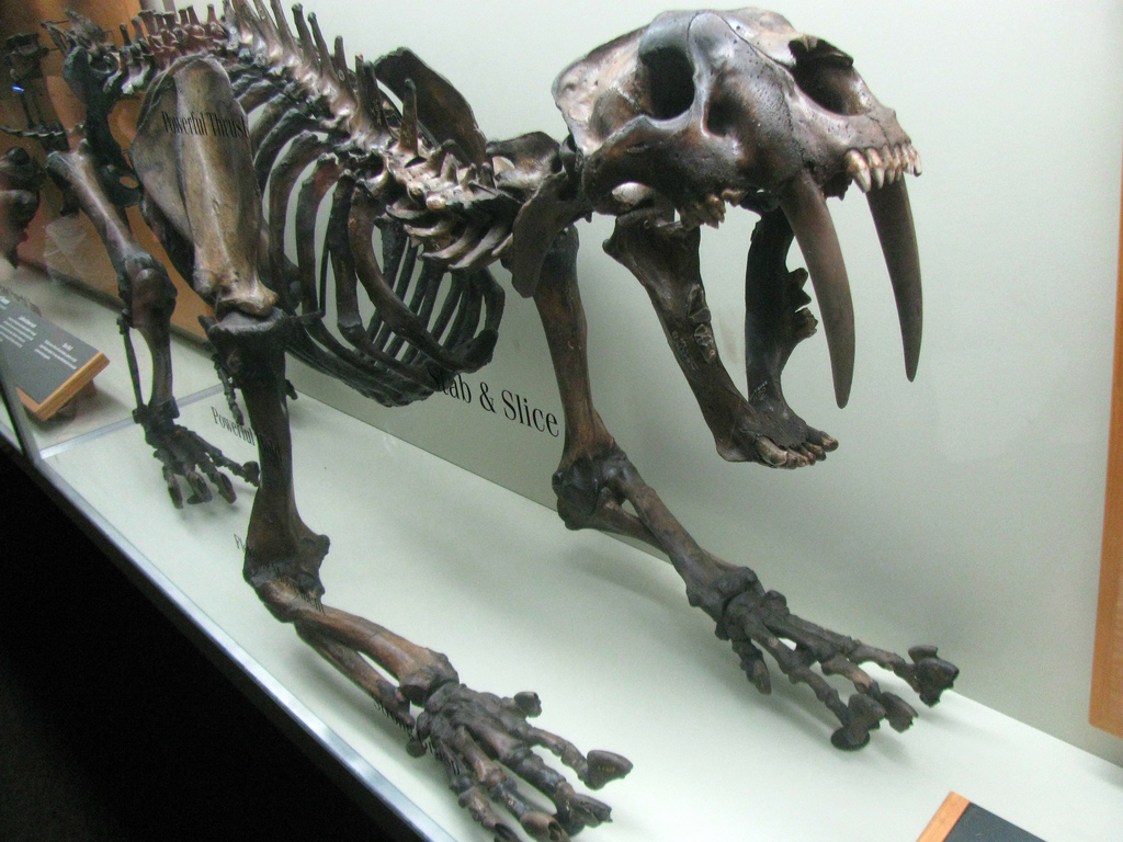 Sabertooth tiger fossil