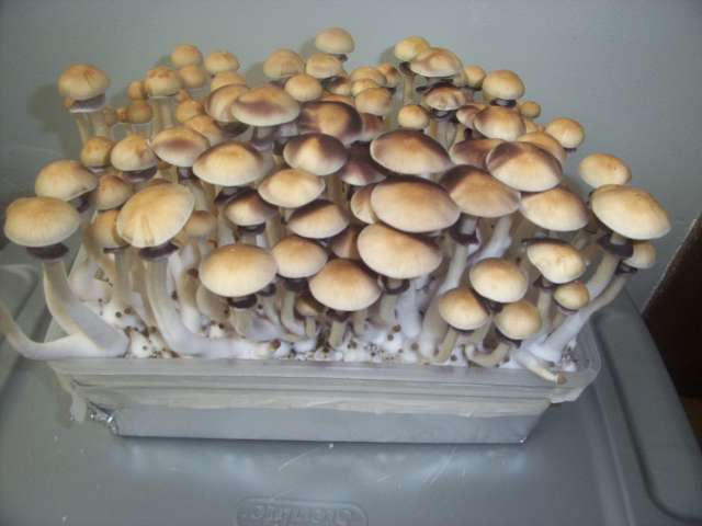 how to grow psilocybe cubensis outside