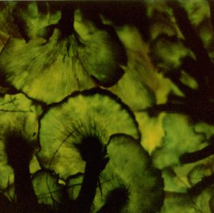 Biolumencent spores and other questions - Mushroom ...