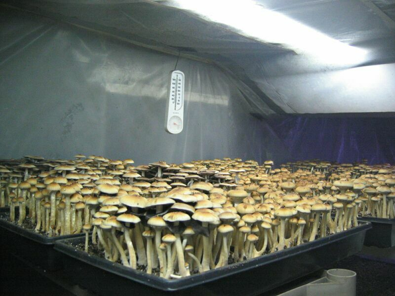 growing in basement possible contaminates mushroom cultivation