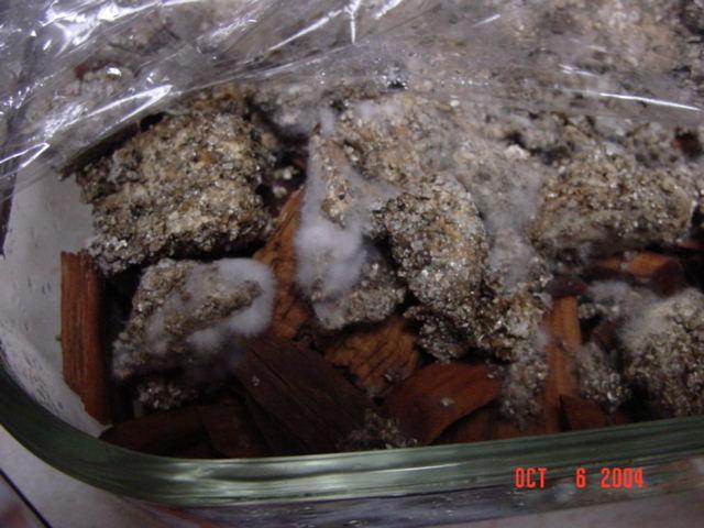 Azurescens / wood chip tek/PICS - Advanced Mycology