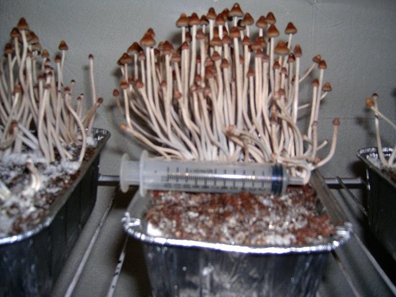 Easier Than Cubes!!! - Mushroom Cultivation - Shroomery Message Board