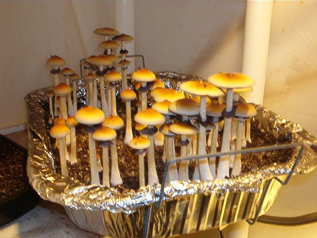 Psilocybin cubensis strain characteristics - Mushroom