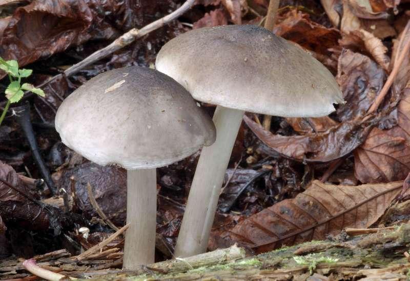 Pluteus salicinus - Mushroom Hunting and Identification ...