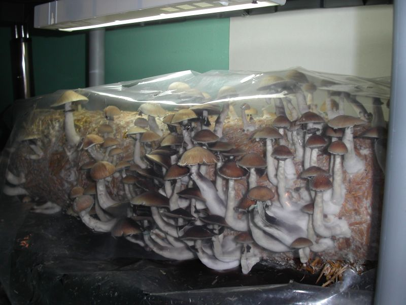 Cubensis On Straw Mushroom Cultivation Shroomery