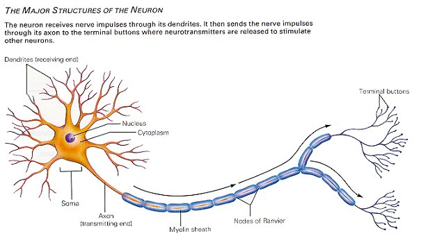chemical messengers that are released by axons and stimulate dendrites on another neuron are called Neuropeptides, in contrast, may be released from many additional release sites  long-distance signaling within the brain has been called volume transmission,  surround presynaptic axons in contact with central dendrite (den)  and, interestingly, are expressed in different regions of different neurons.
