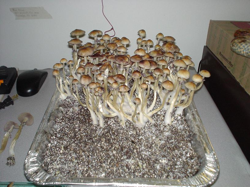 Penis Envy Vs Treasure Coast Mushroom Cultivation