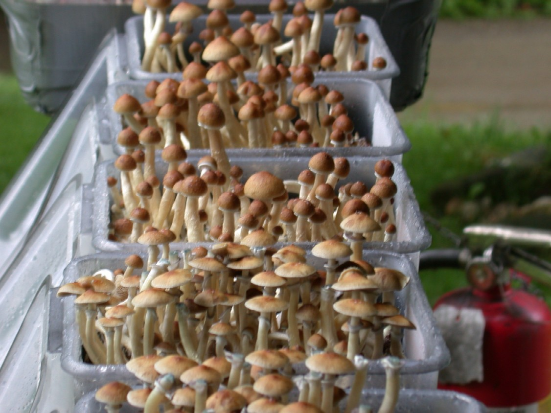 Which fruits better??? - Mushroom Cultivation - Shroomery Message Board