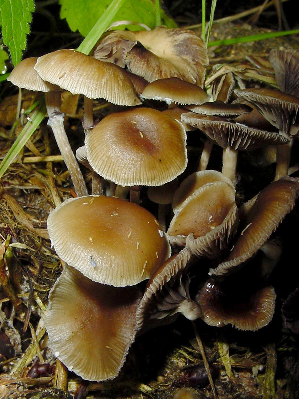 Psilocybe Sierrae Aka P Subfimetaria Advanced Mycology