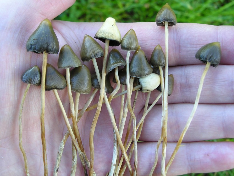 UK Liberty Caps - Mushroom Hunting and Identification - Shroomery ...