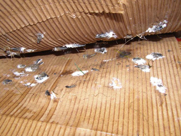 Cardboard Spawn Tutorial Mushroom Cultivation