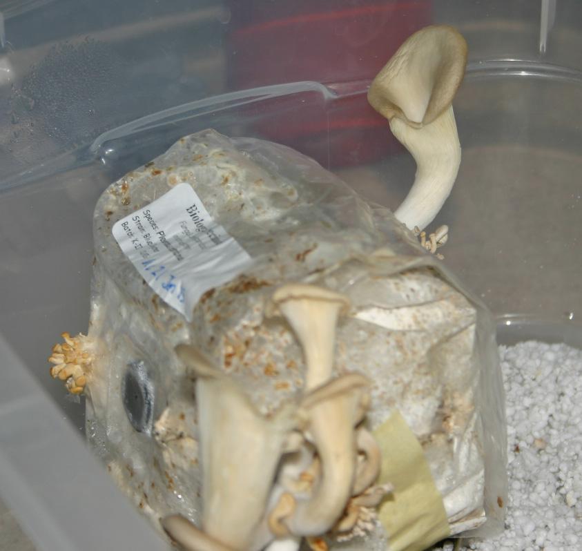 No Spores - Gourmet and Medicinal Mushrooms - Shroomery