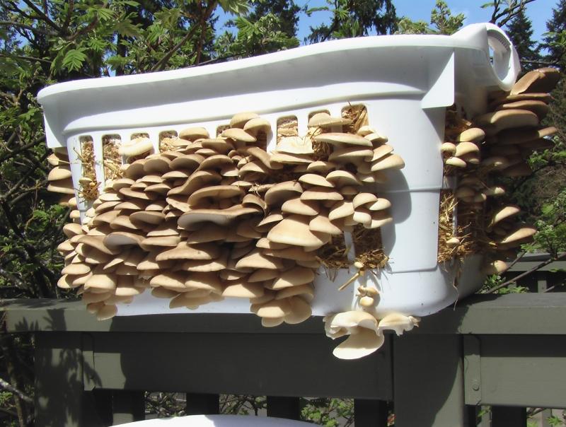 Roger Rabbits Bulk Straw Tek - Mushroom Cultivation ...