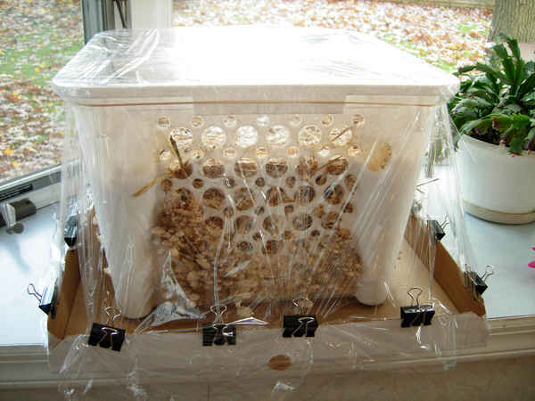 Pearl Oyster Ghetto Humidity Tent (pic) - it works! - Gourmet and