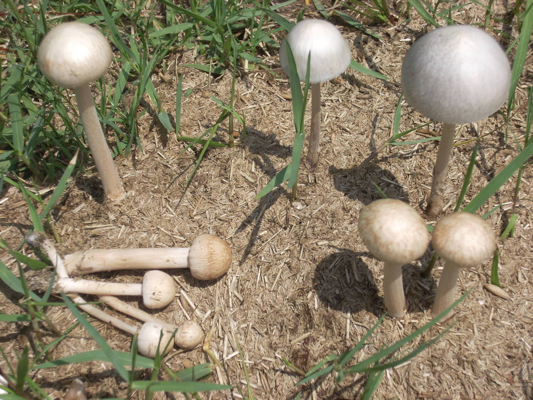 mushrooms in horse manure - The Psychedelic Experience ...