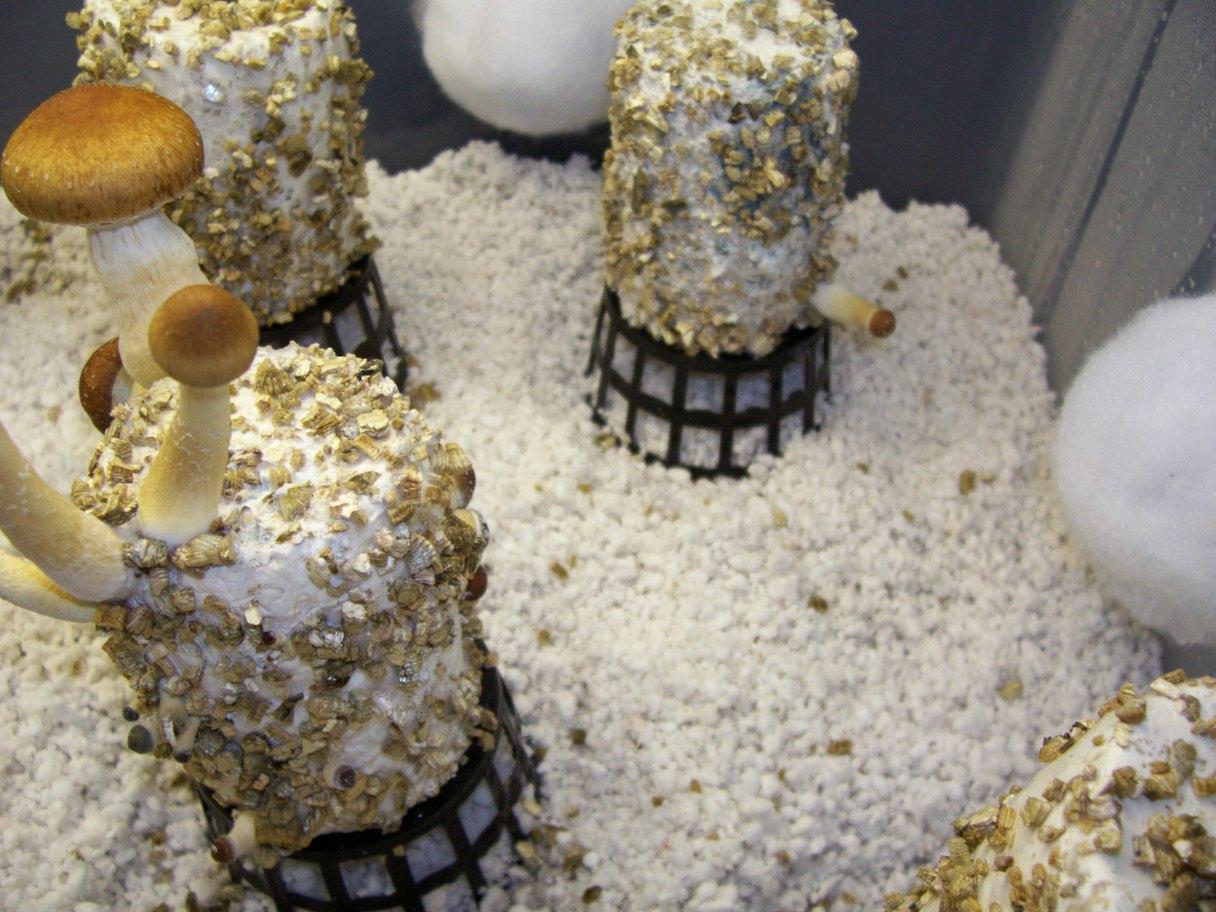 Fruiting Mushroom Cakes