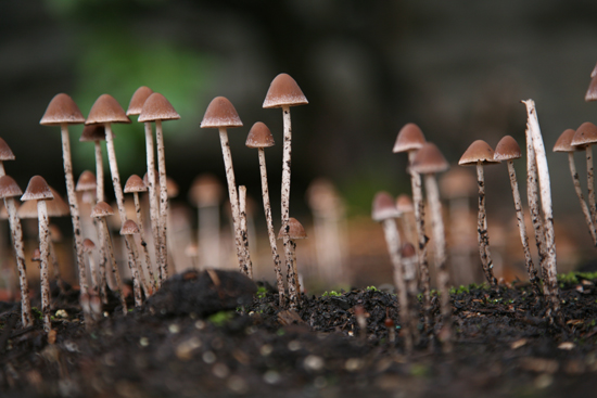 PNW need ID liberty caps? - Mushroom Hunting and