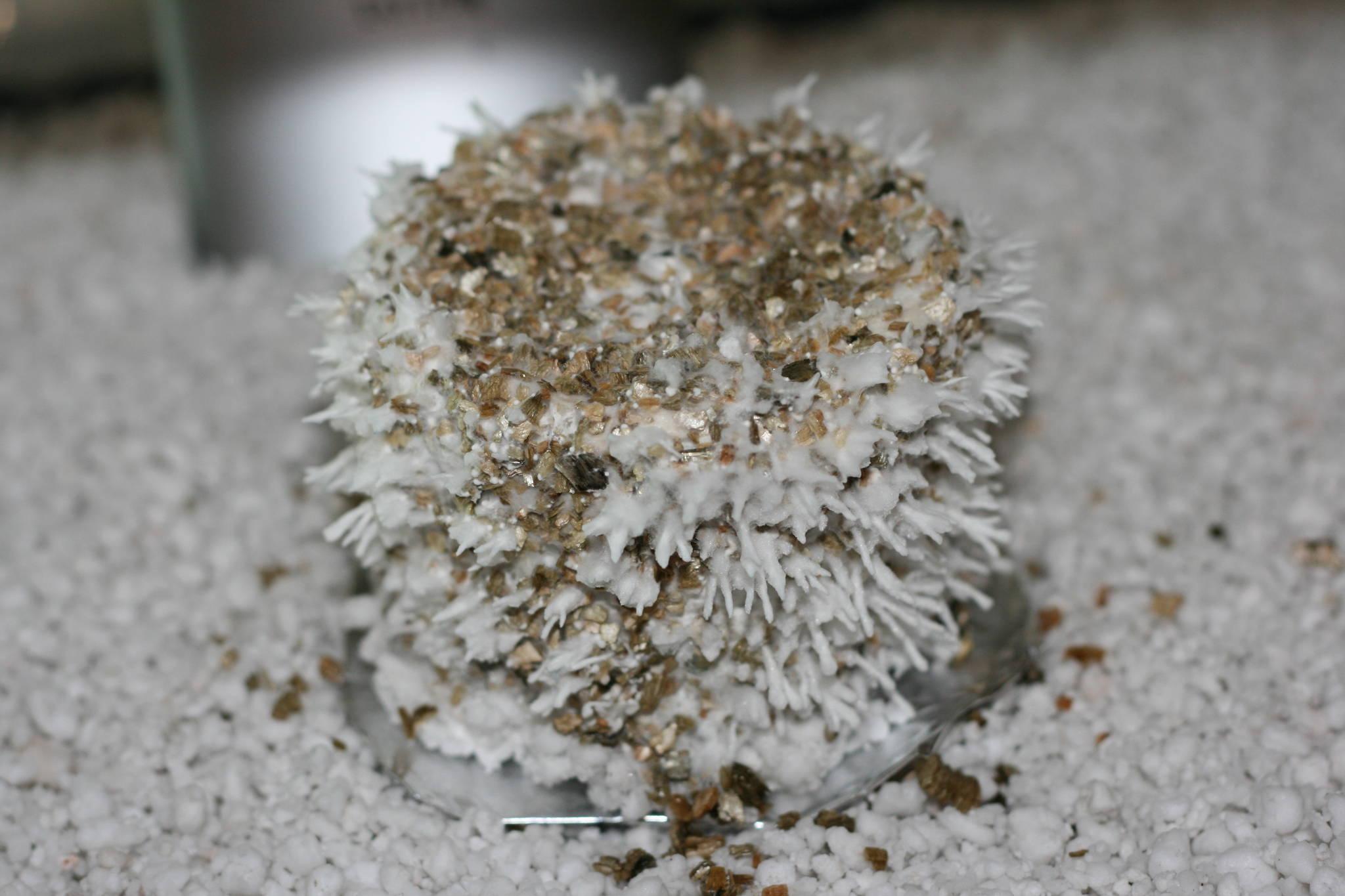 Hyphal Knots Mushroom Cultivation Shroomery Message Board