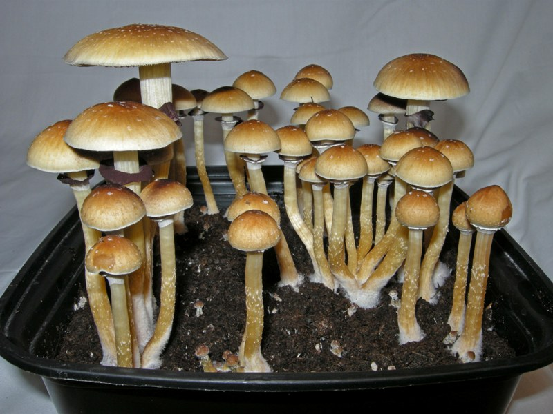 hallucinogenic drugs essay Dependence on hallucinogenic drugs can be very dangerous, causing addiction, behavioral and physical issues, and long-term problems.