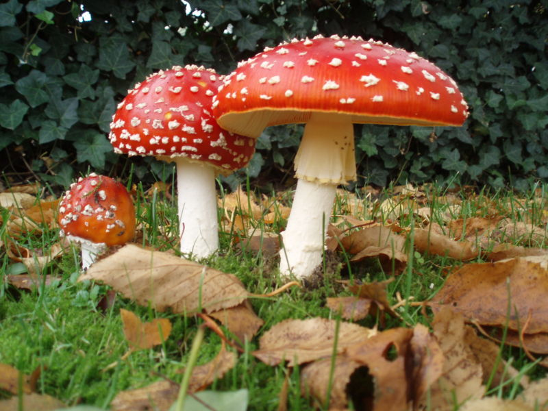 Shroomery - Hunting Fly Agarics in North America