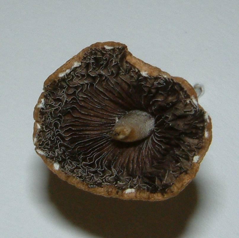 Light brown Mushroom found in mijn backyard - Mushroom ...