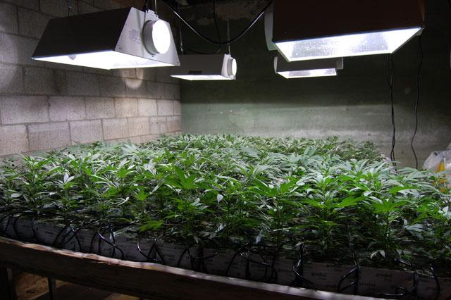marijuana grow discovered in store basement ca shroomery news