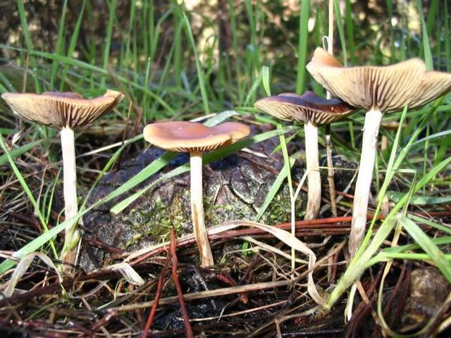 magic mushroom identification for - photo #33