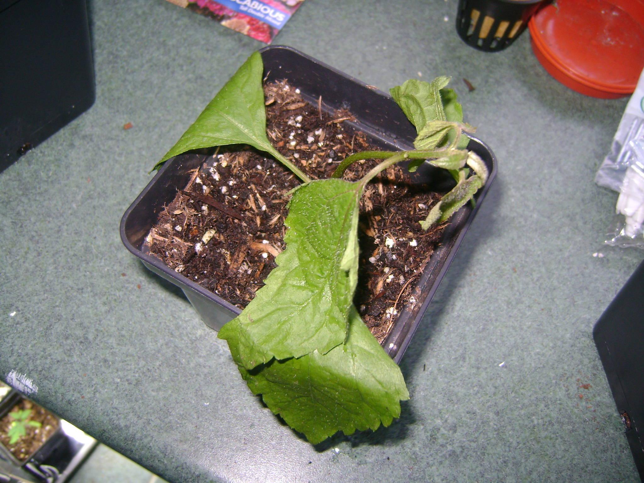 Calea Zacatechichi Whole Foods