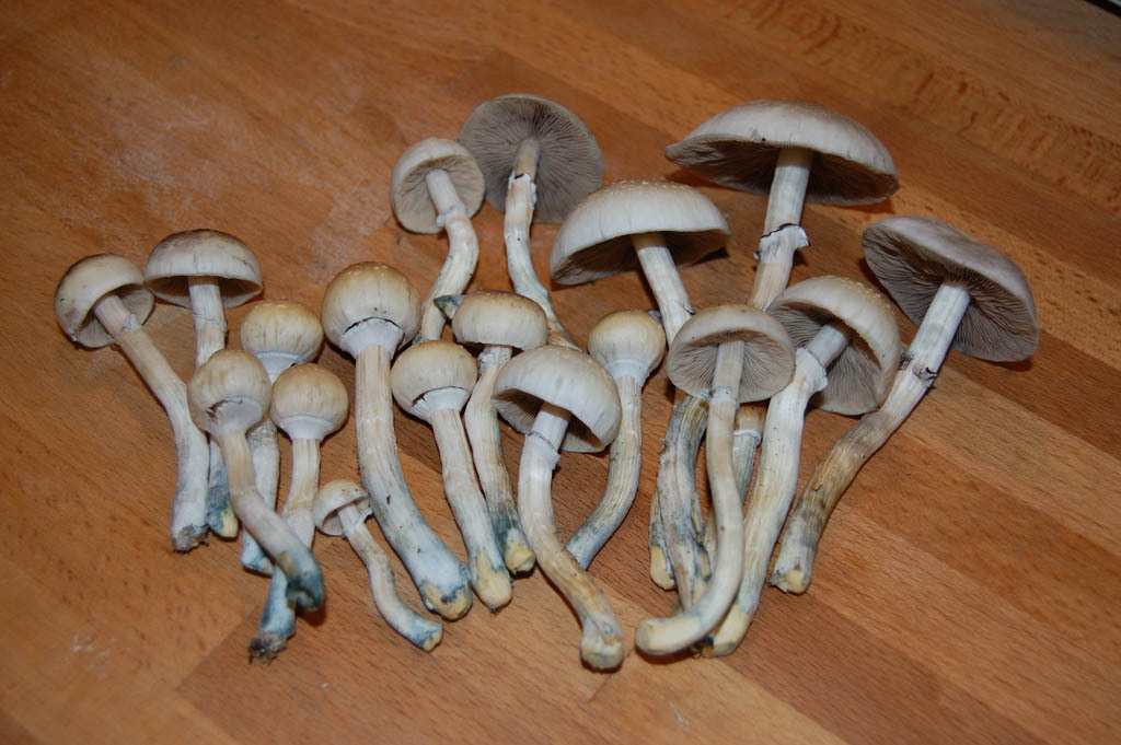 Which cubensis? - The Psychedelic Experience - Shroomery Message Board