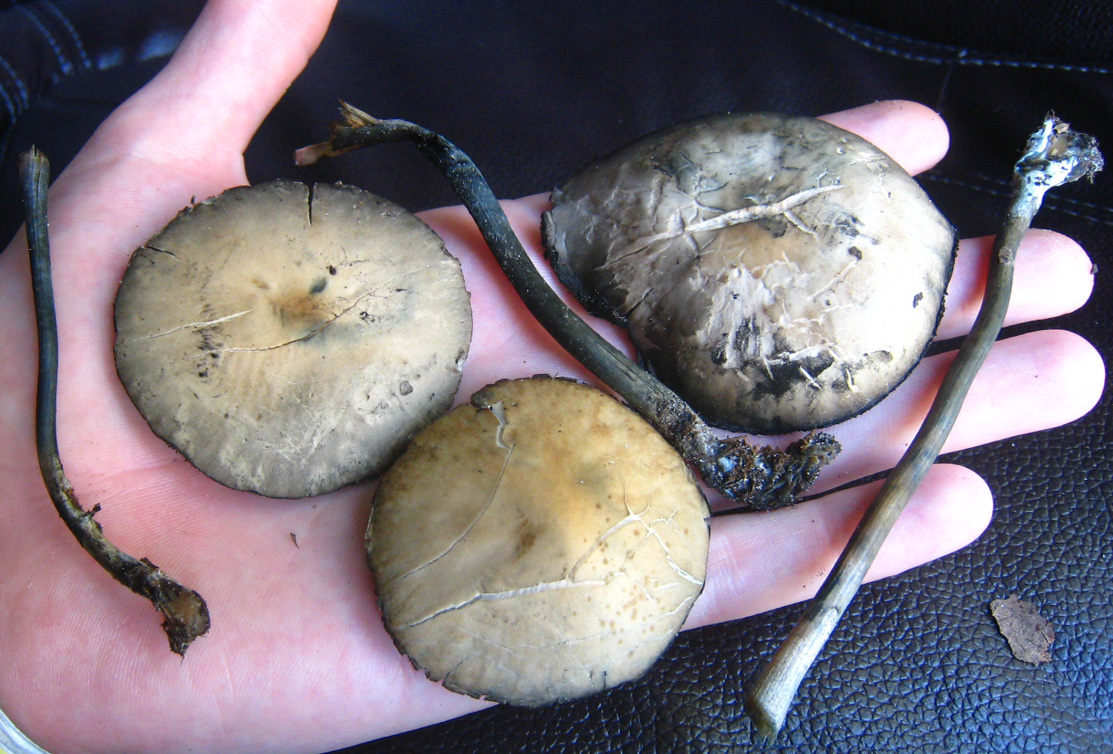 Shroomery - SW Florida Hunting - Panaeolus Cyanescens photos