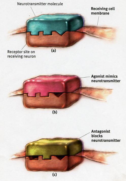 psilocin on the brain clarification new diagrams