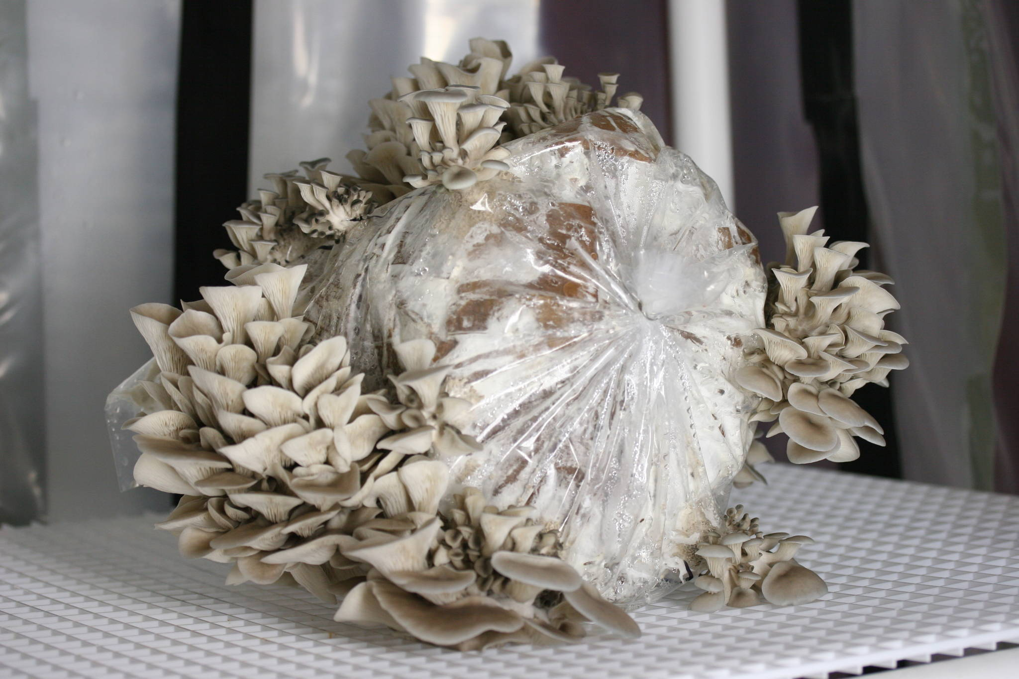 thesis on oyster mushroom Stage on the growth and yield of oyster mushroom  keywords: oyster  mushroom, gibberellic acid (ga3), primordia initiation stage, growth,  m s  thesis.