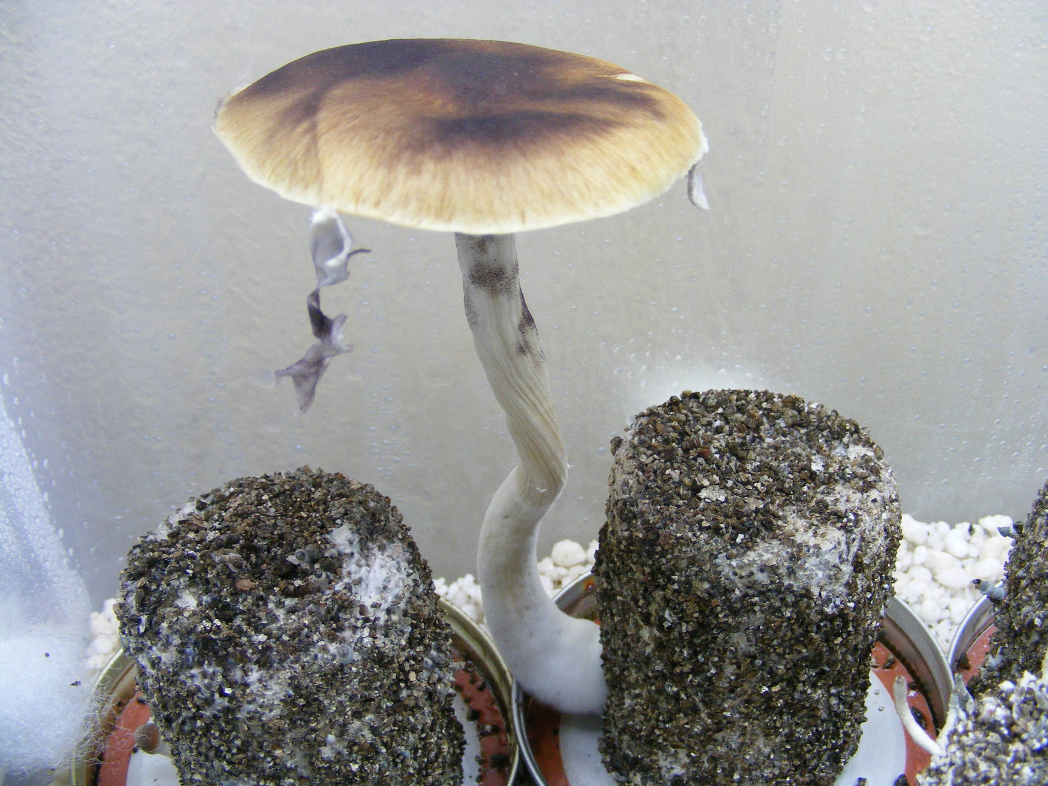my first grow report with oak ridge(pics) - Mushroom Cultivation
