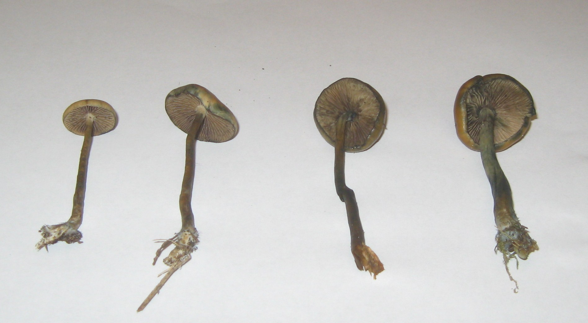 ID Request: Probable P  Azurescens and unknown  - Mushroom
