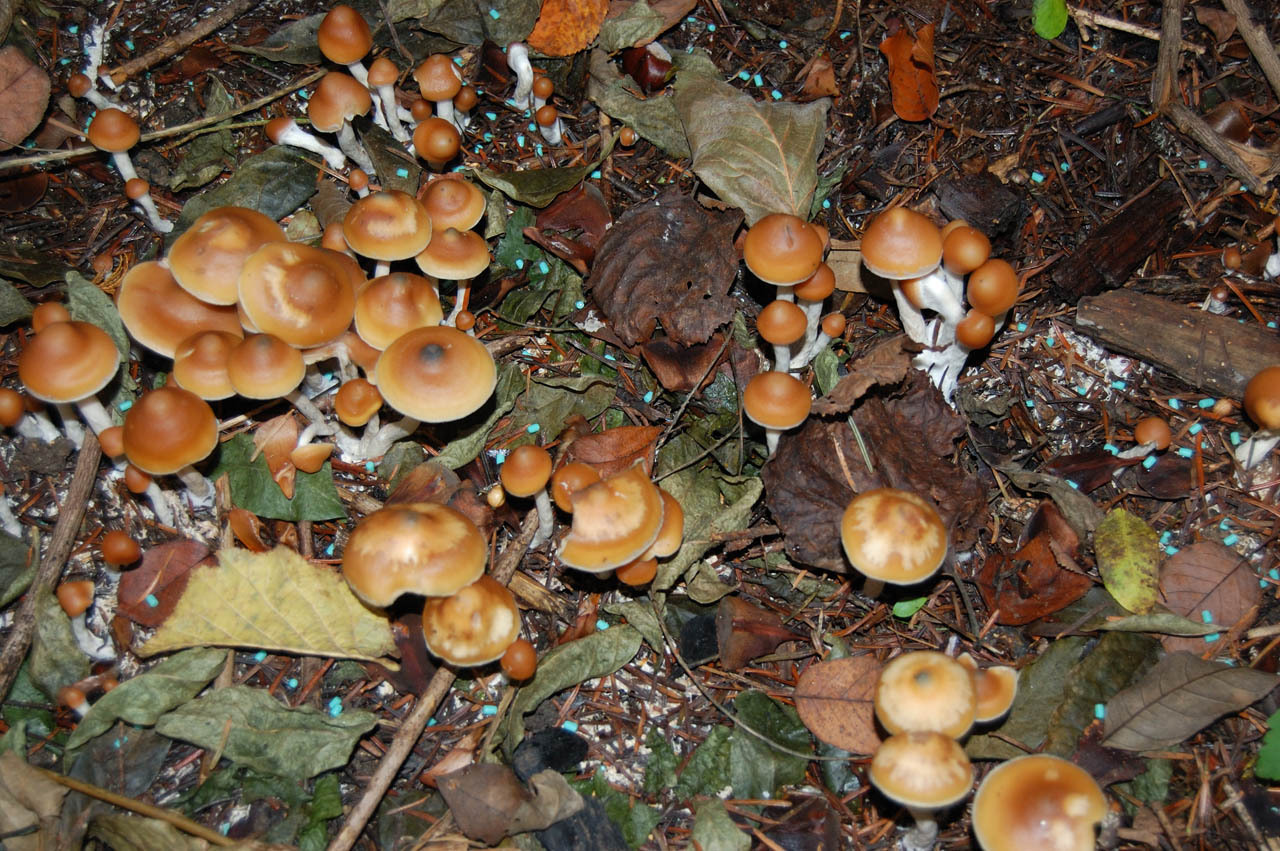 Growing Psilocybe Azurescens? - Mushroom Cultivation - Shroomery