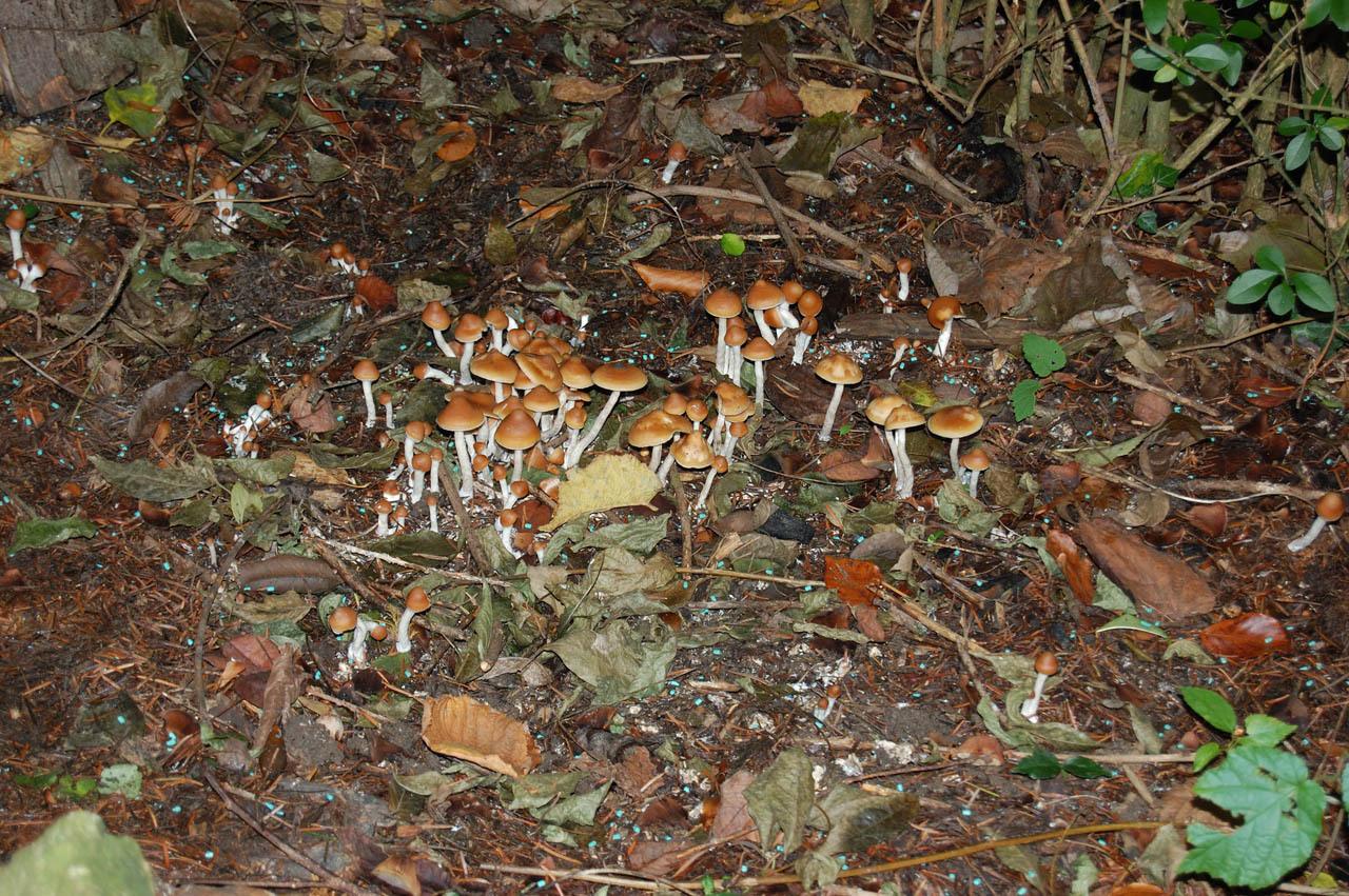 Psilocybe Cyanescens Mushroom Cultivation   Nomibeagal tk