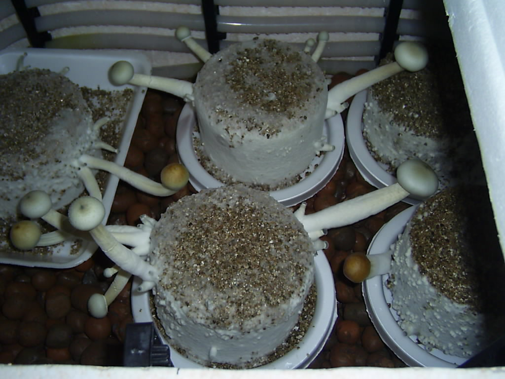 Is this Albino A+ - Mushroom Cultivation - Shroomery Message