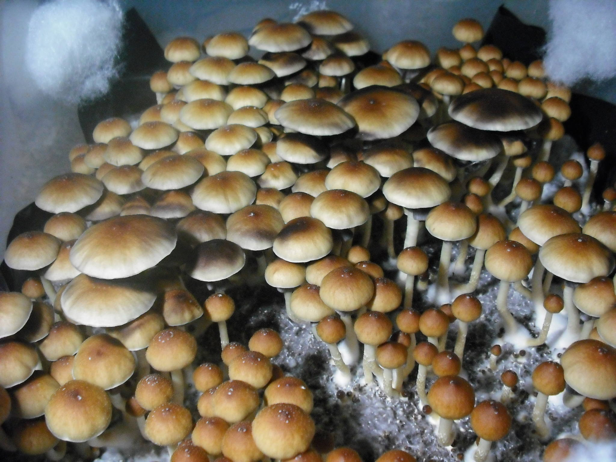 pink buffalo mushroom trip - slubne-suknie info