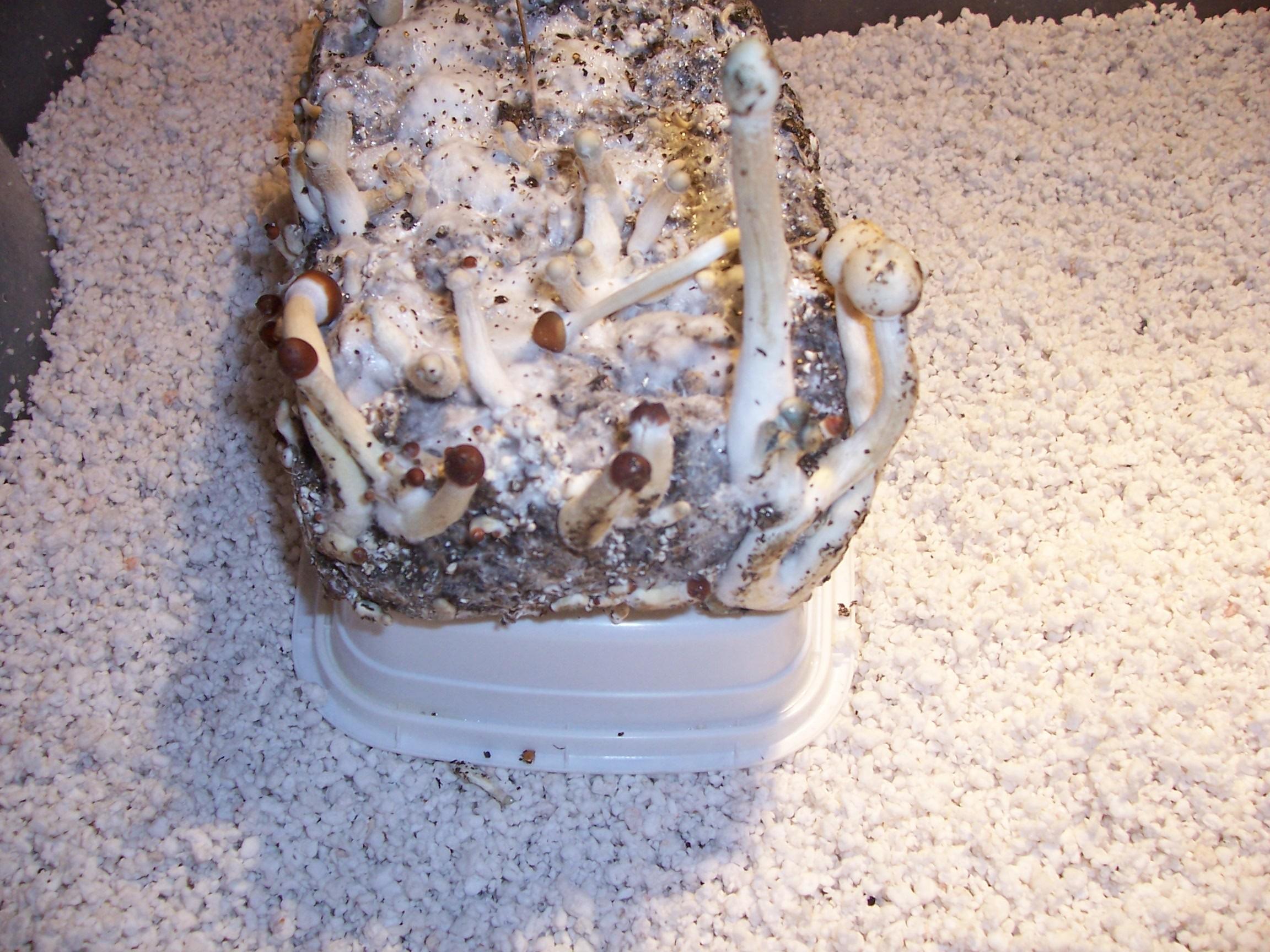 senescence ? - Mushroom Cultivation - Shroomery Message Board