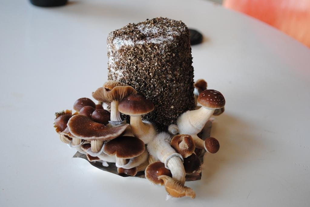 First PF classic grow w/ First harvest + pics - Mushroom