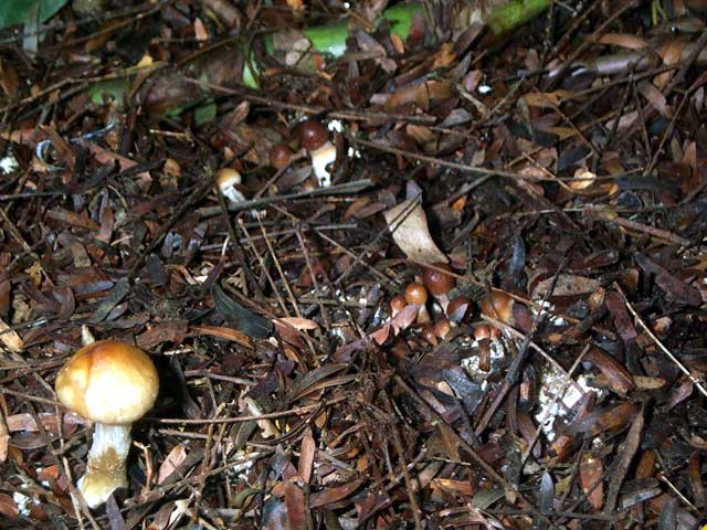 Psilocybe cubensis outdoor  - Grow Logs - Shroomery Message Board