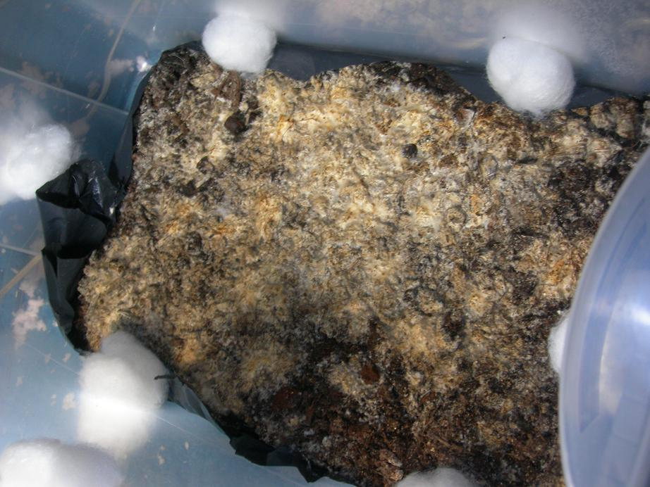 first monotub grow question.(pics added) - Mushroom Cultivation ...