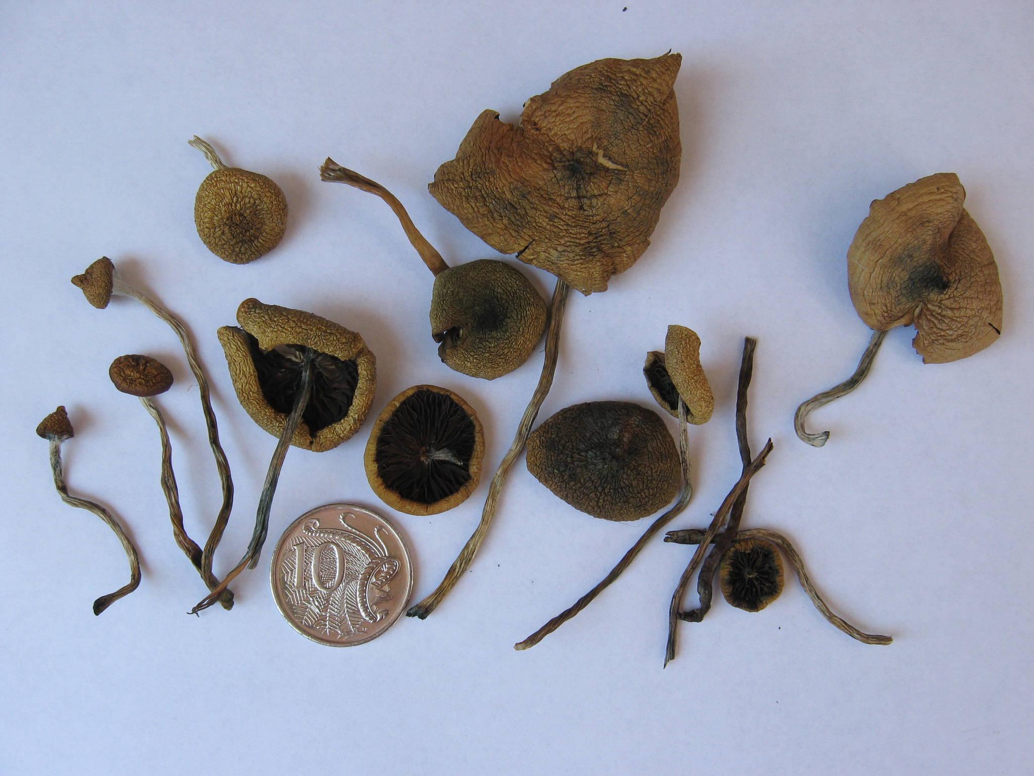 Dried psilocybe subaeruginosa from 2 different locations