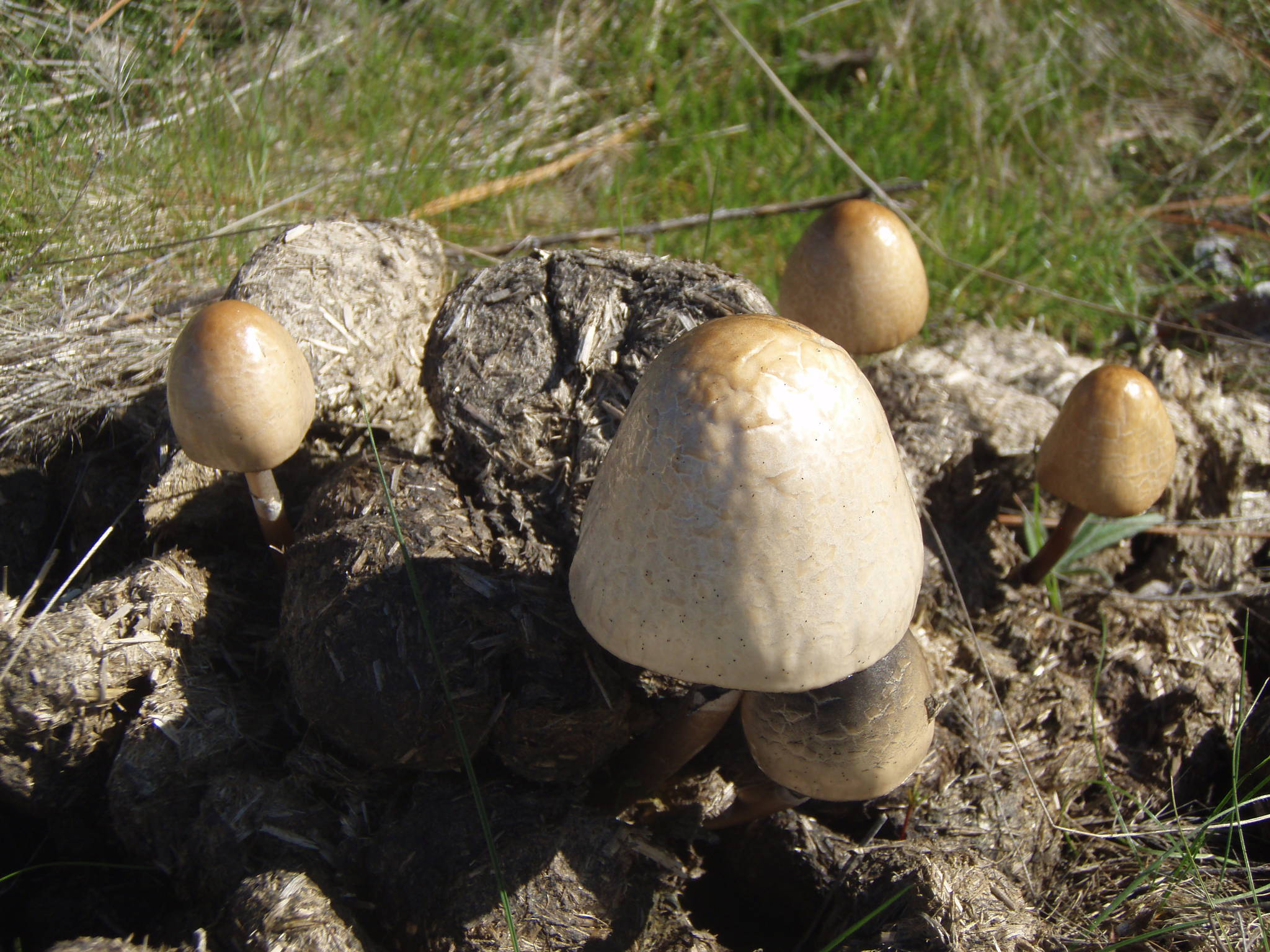 Northen CA Horse Manure ID - Mushroom Hunting and ...