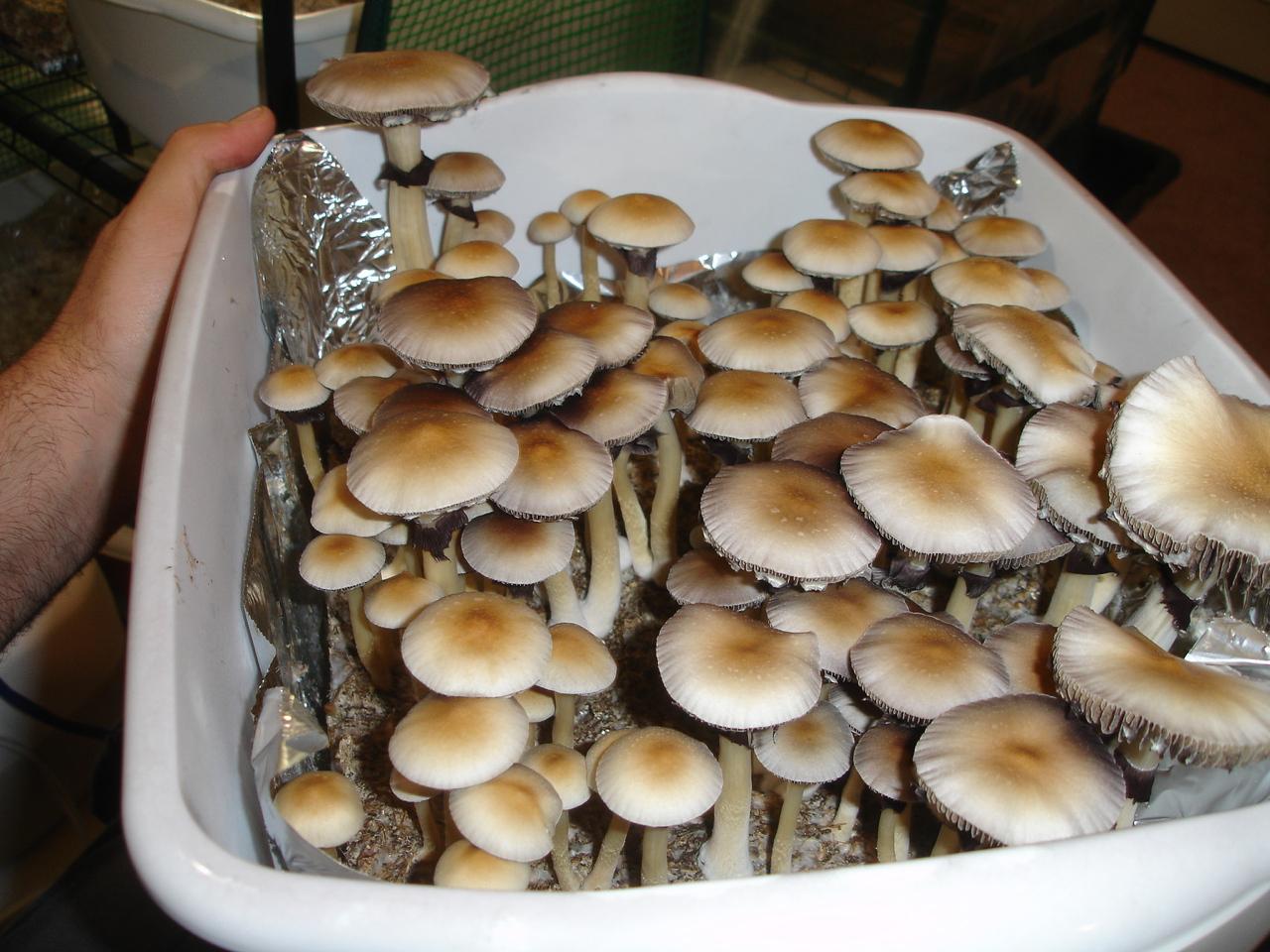 Greenhouse humidity FAE Pinning Mushroom Cultivation Shroomery  #906D3B