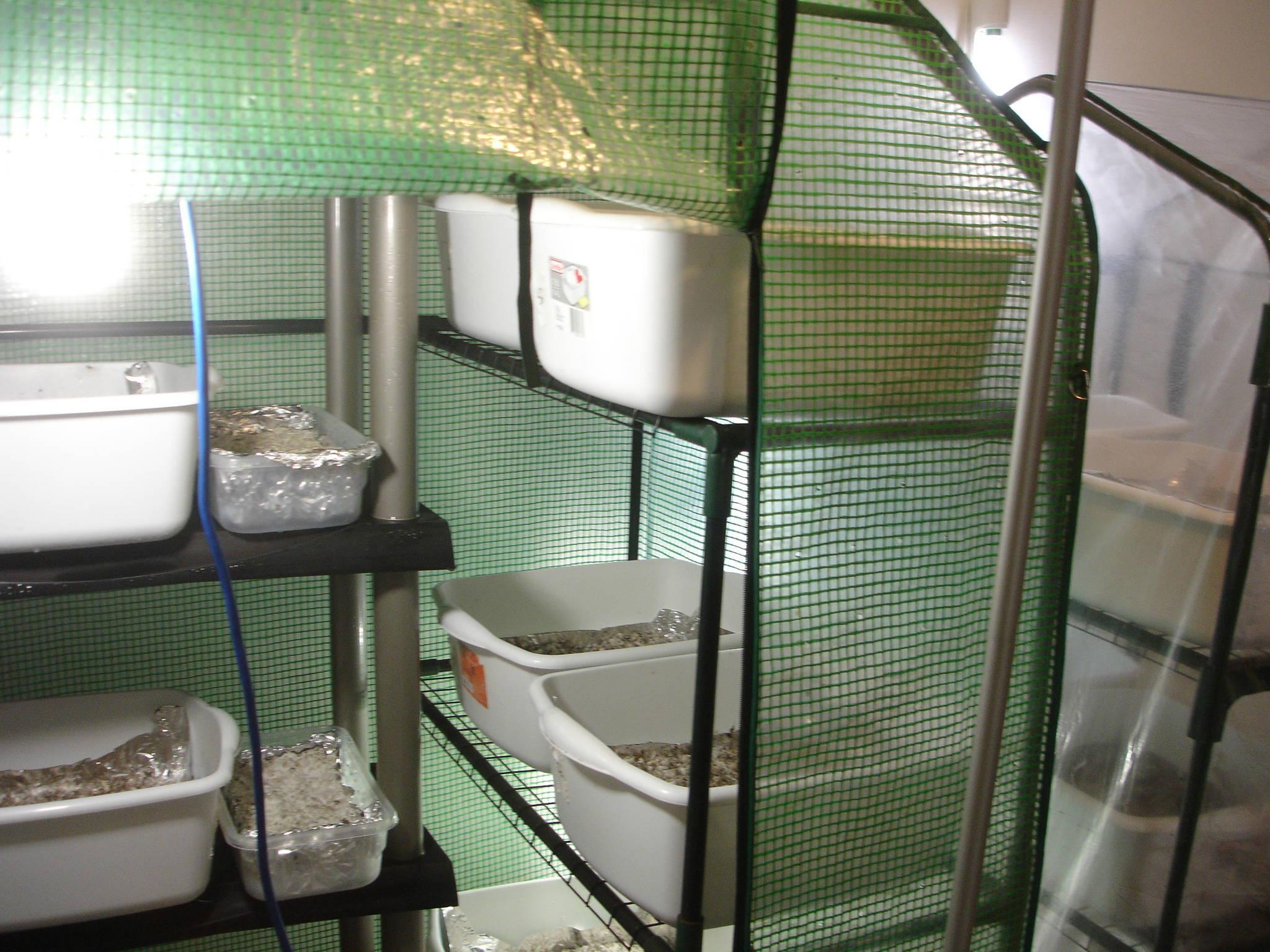 Greenhouse humidity FAE Pinning Mushroom Cultivation Shroomery  #4D7E6C