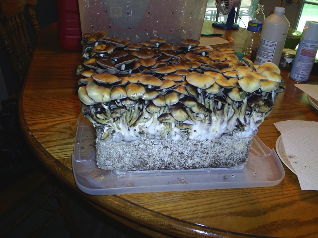 How To Grow Shrooms In Bulk - Monotubs - Bulk Techniques (Full ...